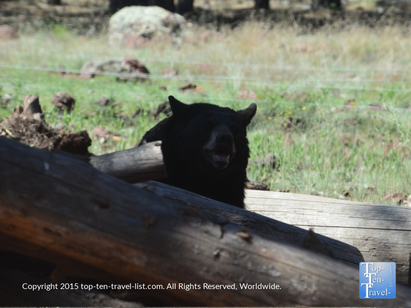 Large Black Bear at Bearizona Drive-Thru Wildlife Park in Williams, Arizona