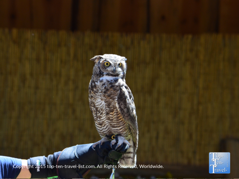 Owl at the Birds of Prey show at Bearizona in Williams, Arizona