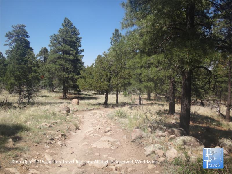 Pretty pine trees along the Fatman's Loop trail in Flagstaff, Arizona