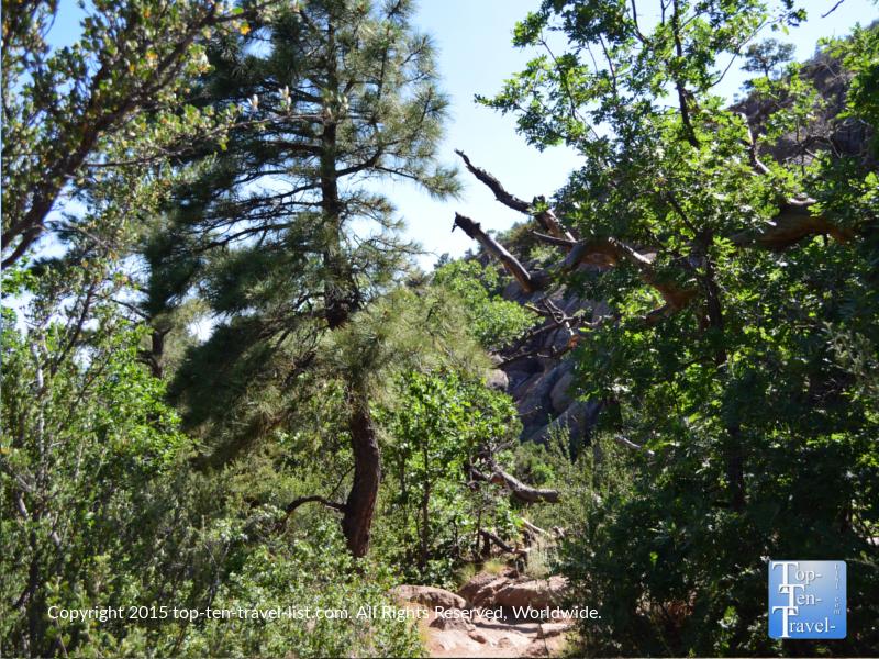 Lots of pretty pine trees on the Fatman's Loop trail in Flagstaff, Arizona