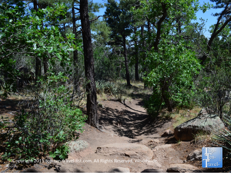 Beautiful pine trees lining the Fatman's Loop Trail in Flagstaff, Arizona