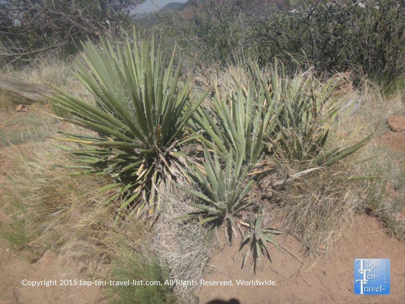 Yucca plants along the Fatman's Loop Trail in Flagstaff, Arizona