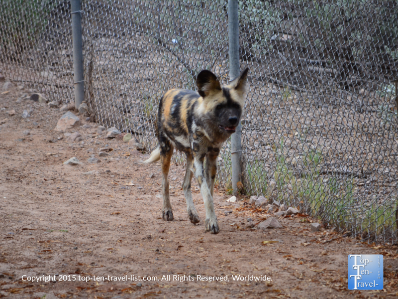 African Wild Dog at the Phoenix Zoo