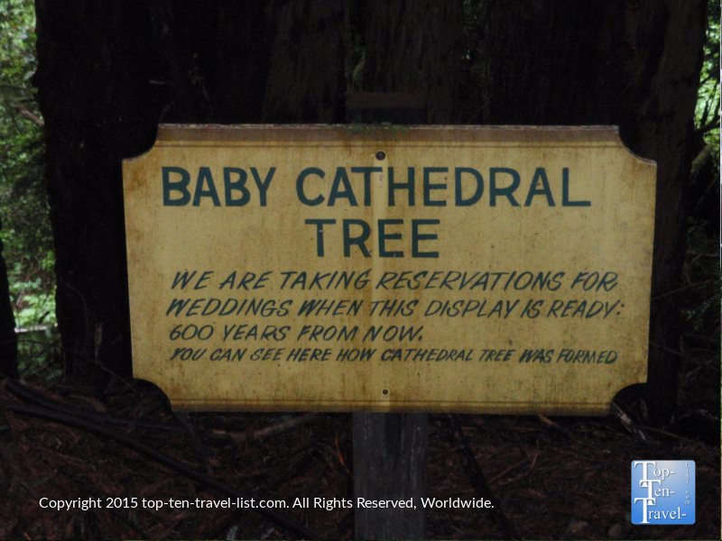 Baby Cathedral tree at Trees of Mystery in Northern California