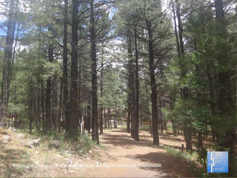Beautiful ponderosa pine at Fort Tuthill County Park in Flagstaff, Arizona