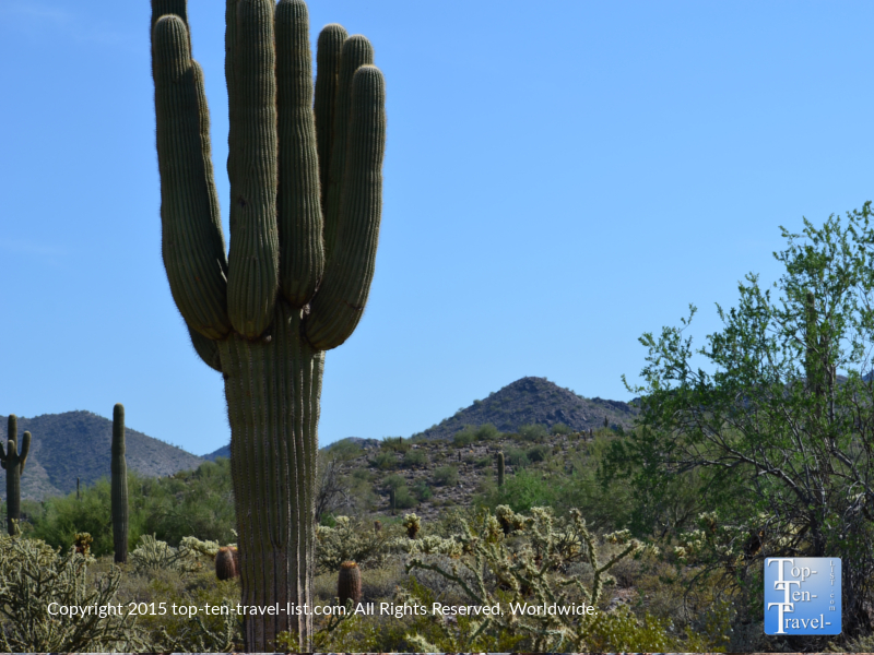 Big cactus along the Horseshoe Loop trail at McDowell Sonoran Preserve in Scottsdale, Arizona