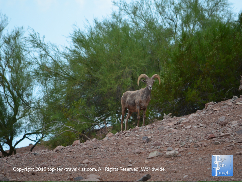Bighorn sheep at the Phoenix Zoo