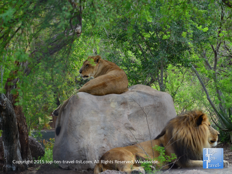 Lions relaxing at the Phoenix Zoo