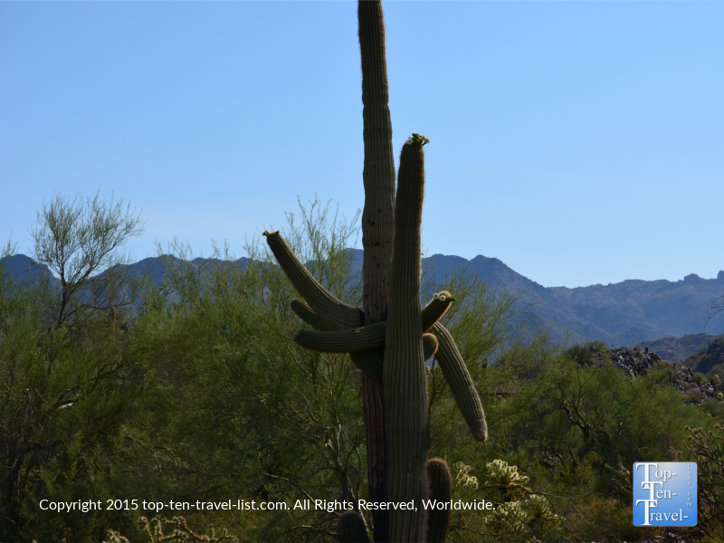 Cactus with arms on the Horseshoe Loop trail at McDowell Sonoran Preserve in Scottsdale, Arizona
