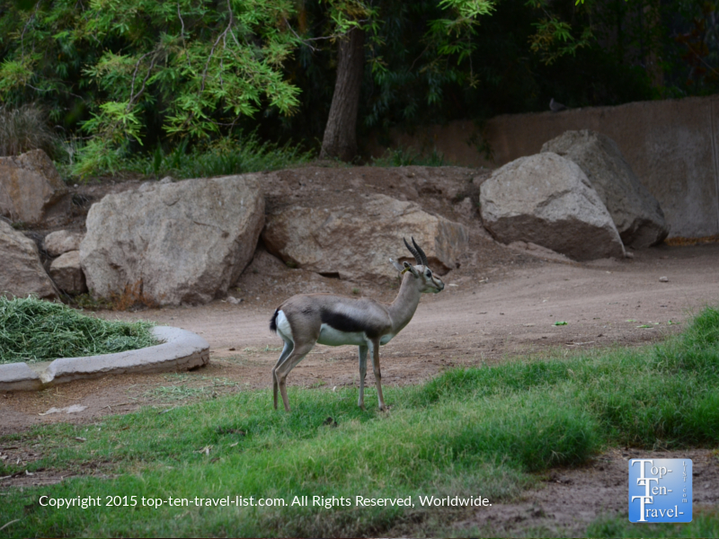 Deer at the Phoenix Zoo