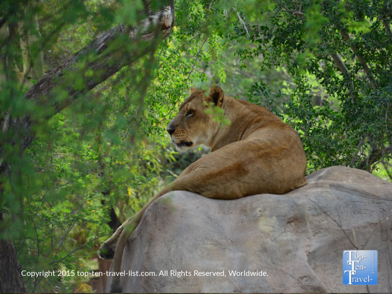 Female lion at the Phoenix Zoo