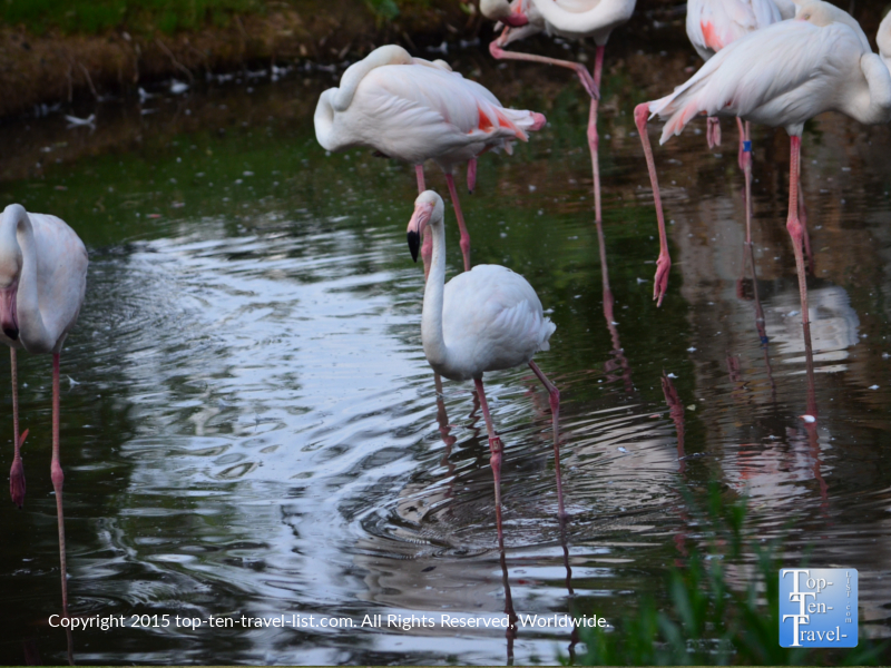 Flamingos at the Phoenix Zoo