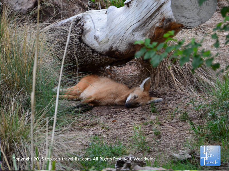 Sleeping fox at the Phoenix Zoo