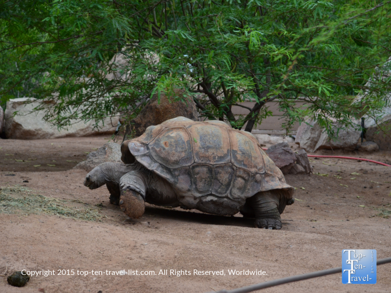 Giant turtle at the Phoenix Zoo