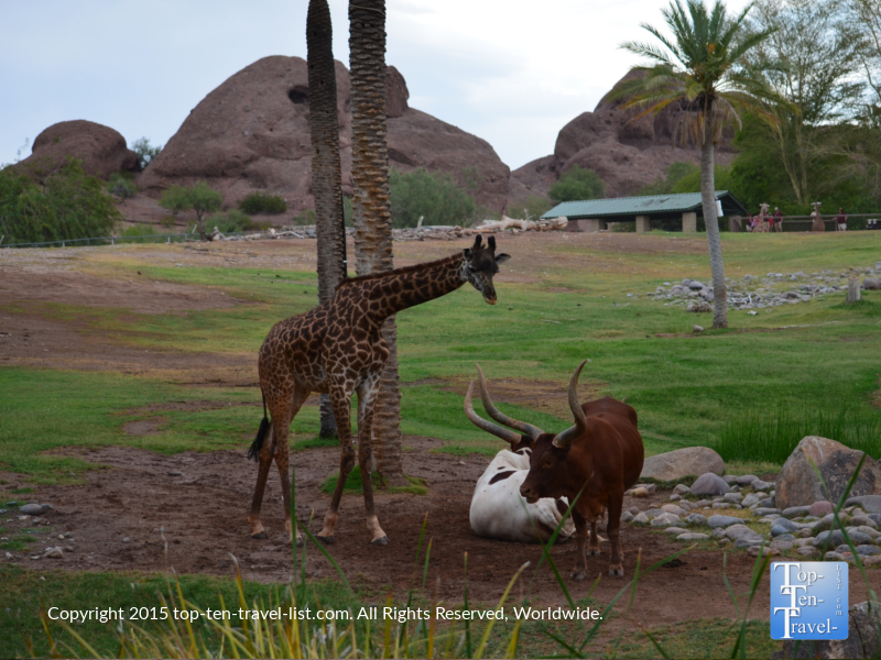 Giraffe and longhorn at the Phoenix Zoo