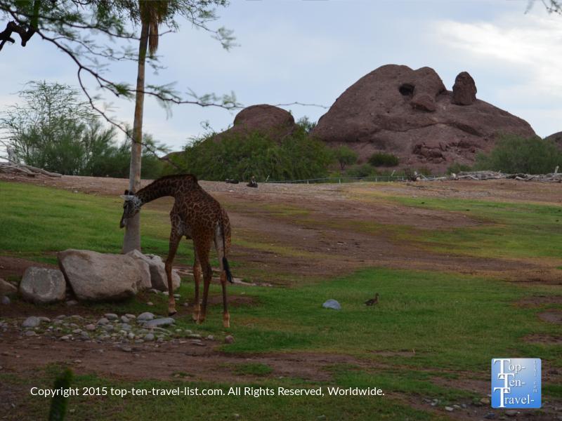 Scenic giraffe exhibit at the Phoenix Zoo