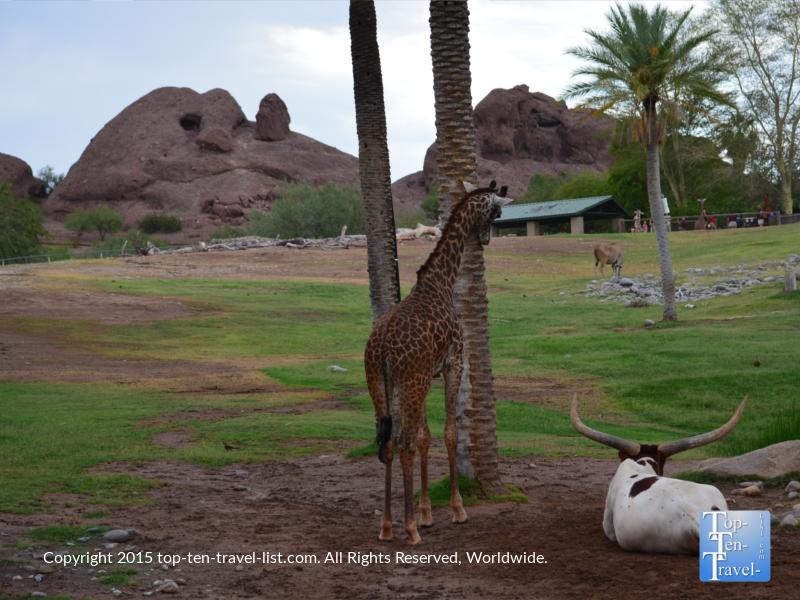 Giraffe at the Phoenix Zoo