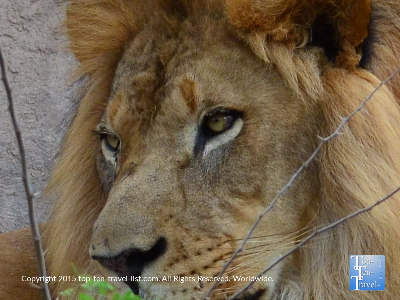 Up close view of a lion at the Phoenix Zoo