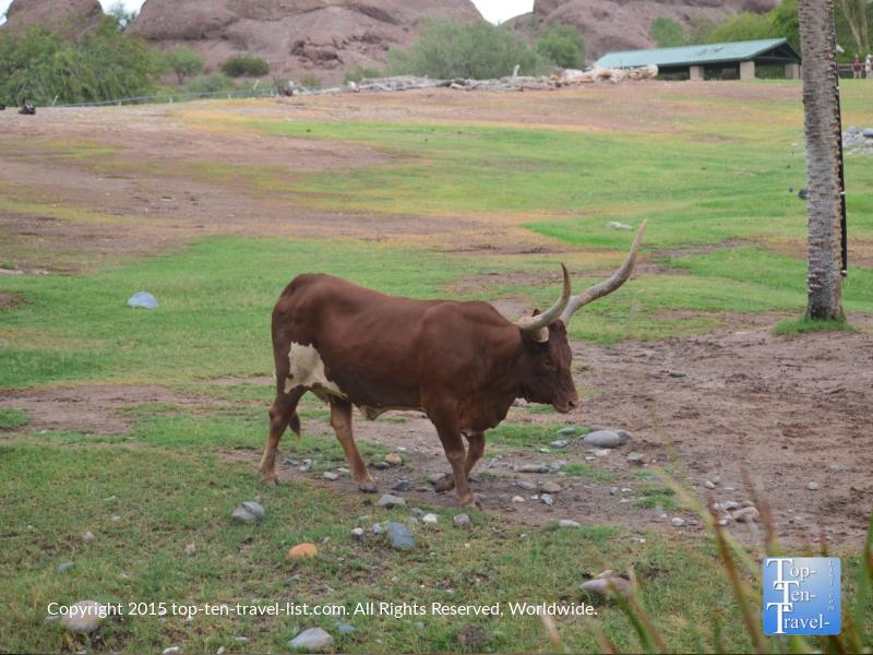 Longhorn at the Phoenix Zoo