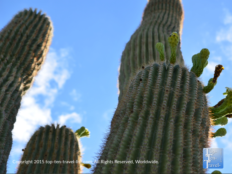 Looking up at a tall cactus along the Horseshoe Loop trail at the McDowell Sonoran Preserve in Scottsdale, Arizona