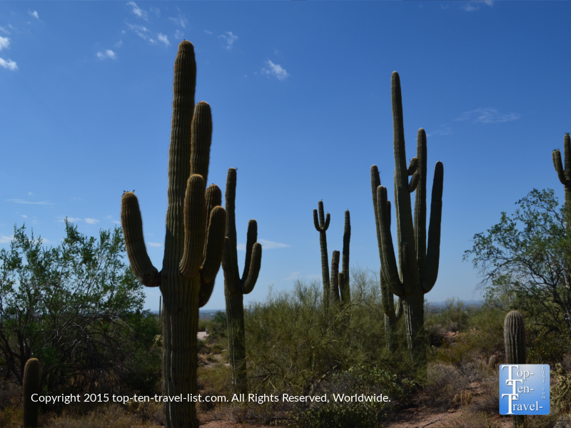 Lots of cacti at Usery Mountain Regional Park in Mesa, Arizona