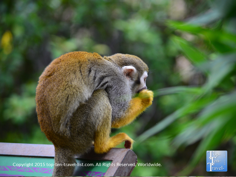 Squirrel Monkey at the Phoenix Zoo