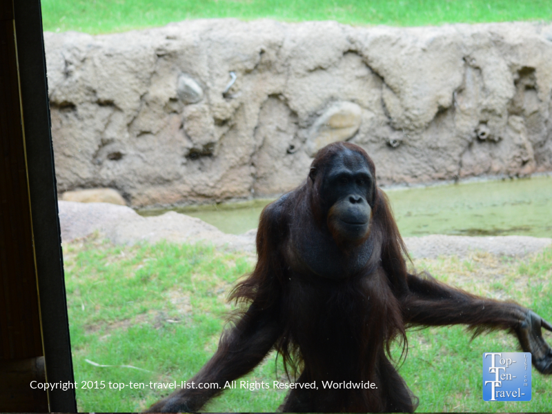 Orangutang at the Phoenix Zoo