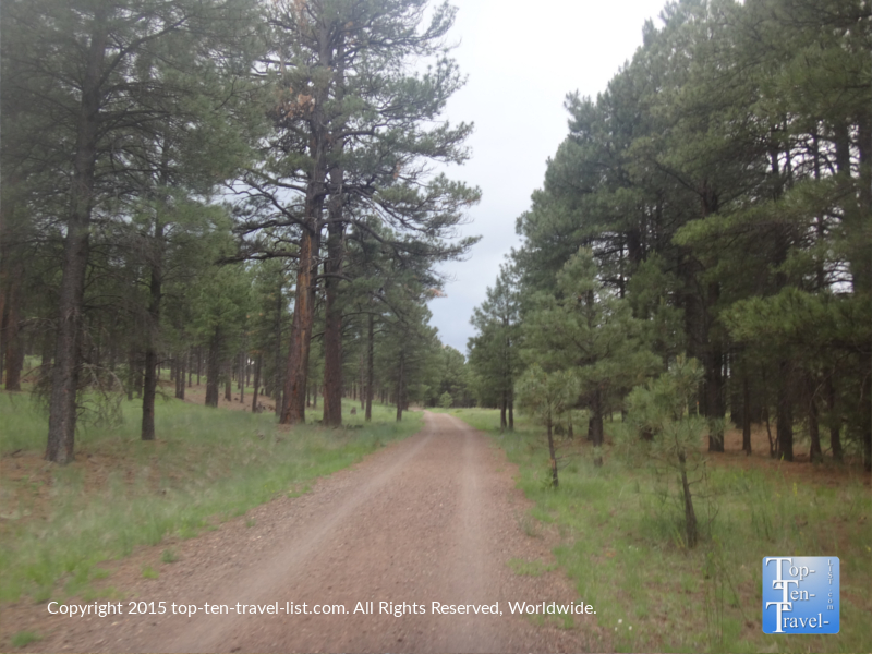 Gorgeous trees lining the FUTS at Fort Tuthill County park in Flagstaff, Arizona