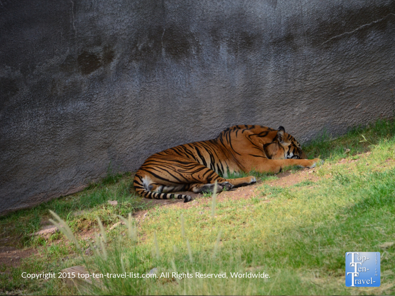 Sleeping tiger at the Phoenix Zoo