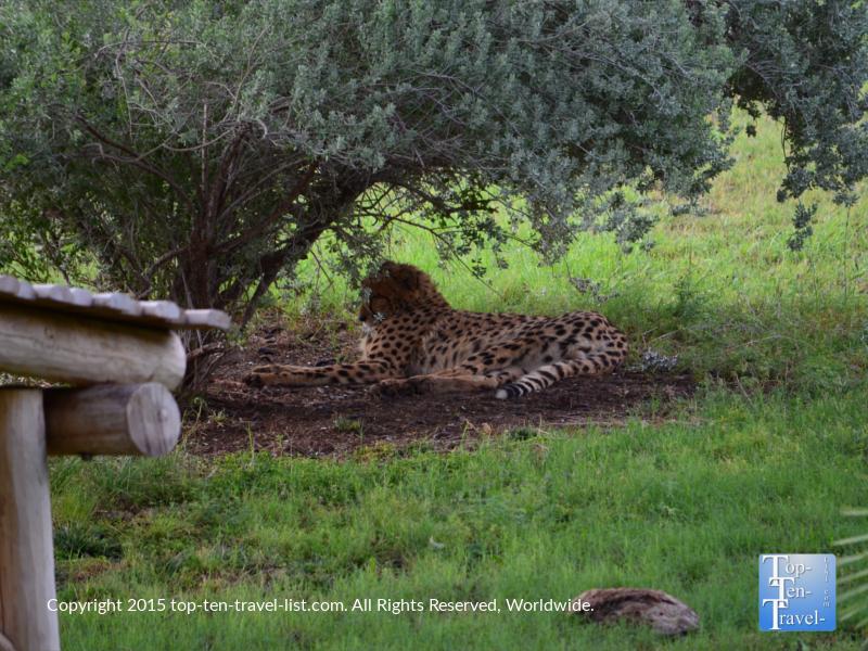 Cheetah relaxing at the Phoenix Zoo