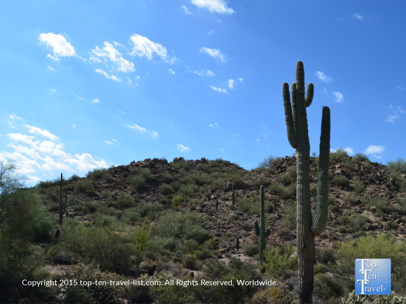 A very tall cactus along the Merkle trail at Usery Mountain in Mesa, Arizona