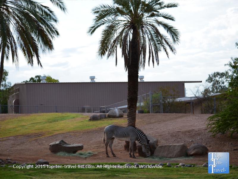 Zebra at the Phoenix Zoo