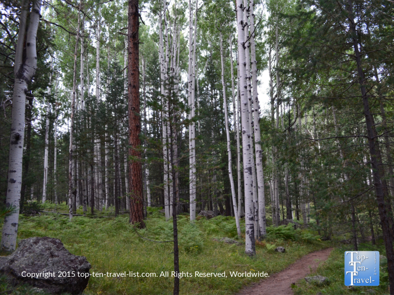 Beautiful aspen trees on the Veit Loop trail in Flagstaff, Arizona