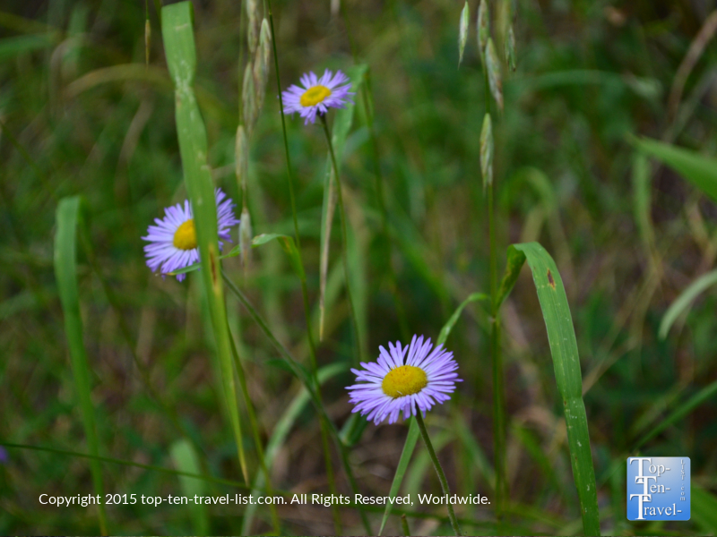 Pretty wildflowers at Lamar Haines Wildlife Memorial area - Veit Springs loop in Flagstaff, Arizona