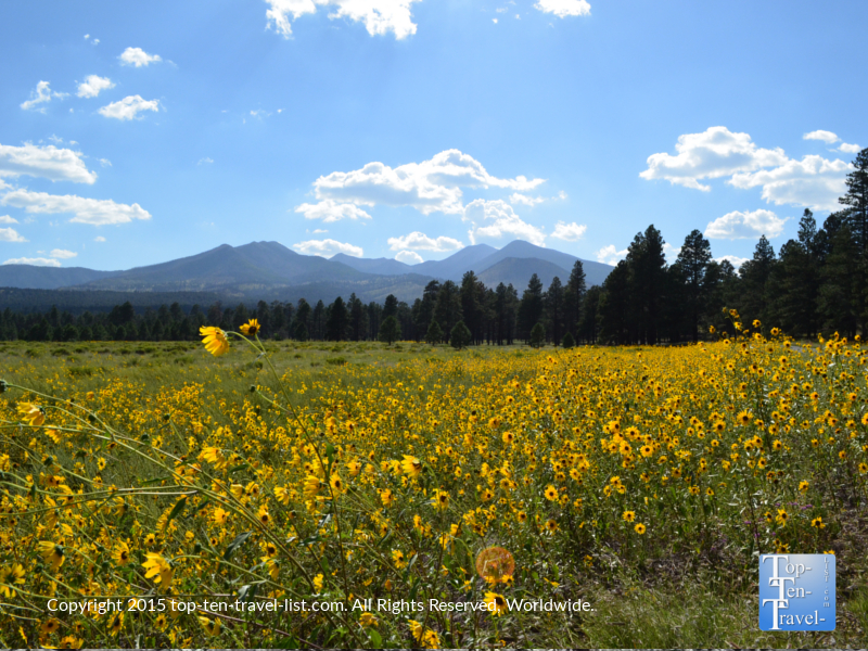 Tons of wildflowers at Bonito Meadow - Sunset Crater National Monument in Flagstaff, Arizona