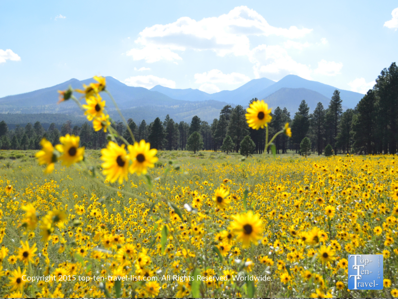 Tons of pretty wildflowers at Bonito Meadow - sunset crater national monument in Flagstaff, Arizona
