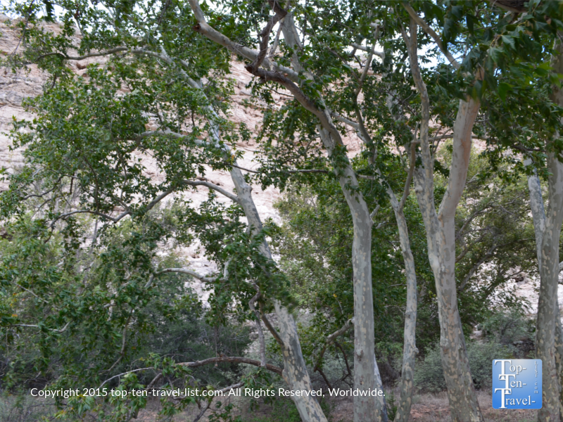 Pretty sycamore trees along the path at Montezuma Castle