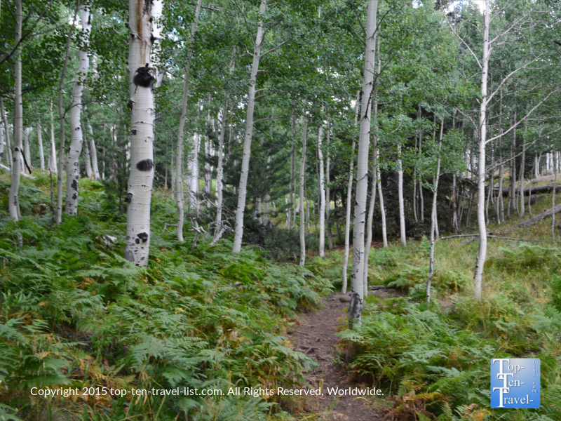 the many gorgeous aspens on the Aspen Nature Loop in Flagstaff