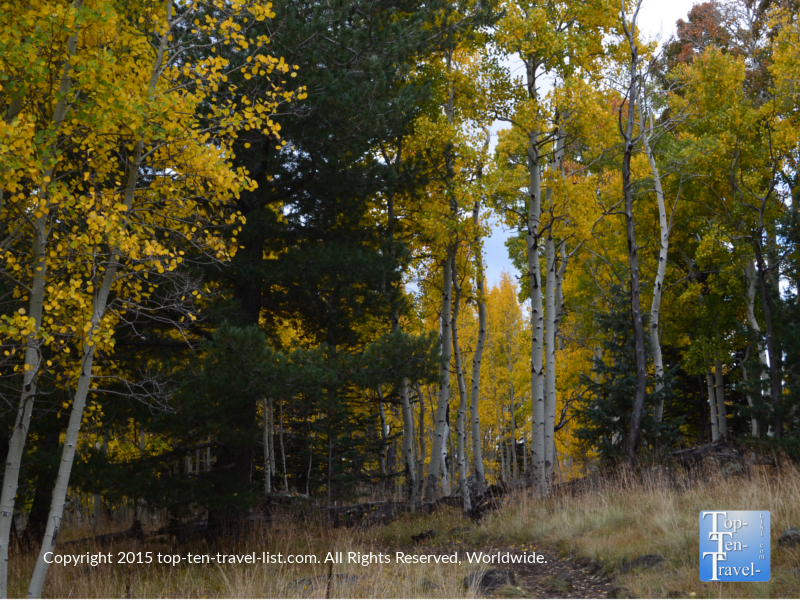 Beautiful views of the golden aspens during the fall season along the scenic Aspen Nature Loop in Flagstaff, Arizona