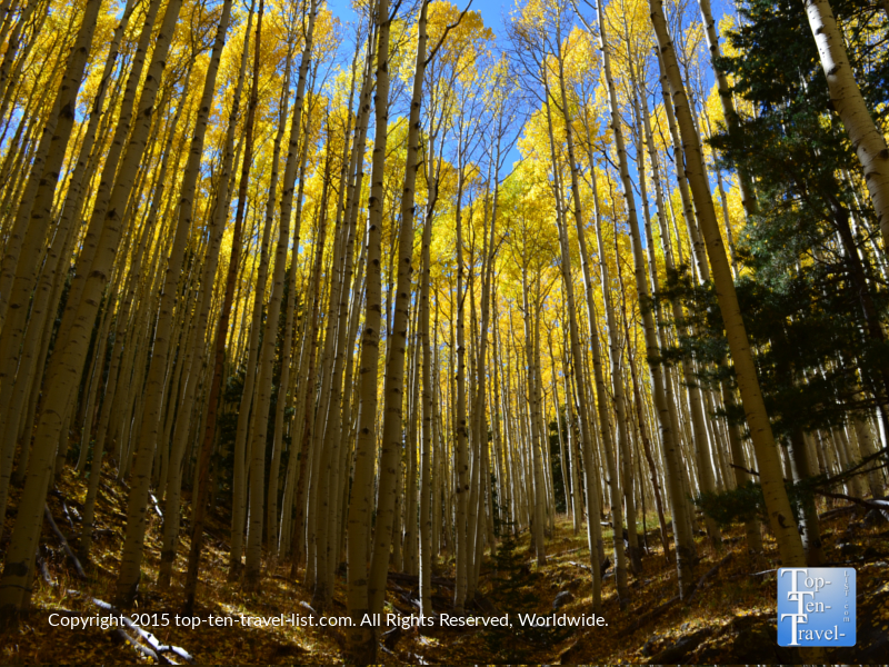 A gorgeous group of aspens shimmering gold during the fall season in Flagstaff, Arizona
