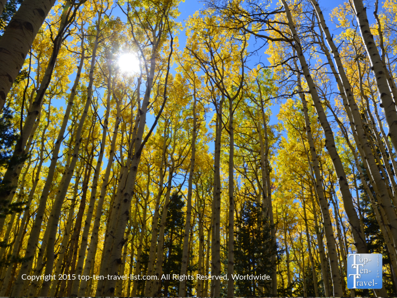 Aspens shining in the sun on a fall day along the Inner Basin trail in Flagstaff, Arizona