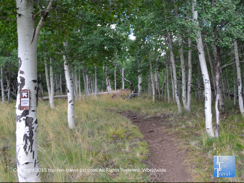 Beautiful aspens lining the Aspen Nature Loop in Flagstaff