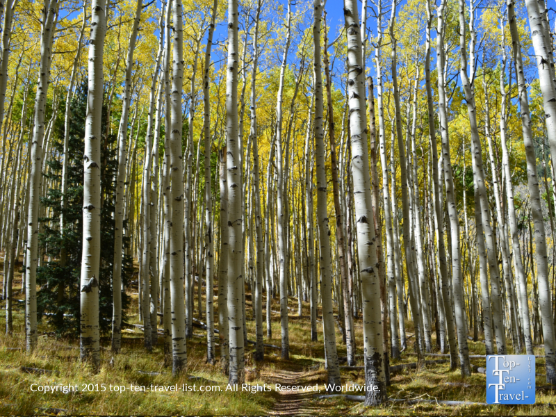 Beautiful yellow aspens along the Inner Basin trail in Flagstaff, Arizona during the amazing fall season