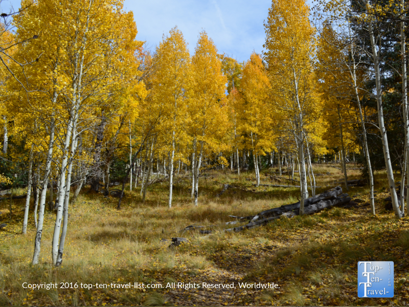 Golden fall foliage on the Aspen Nature Loop in Flagstaff, Arizona