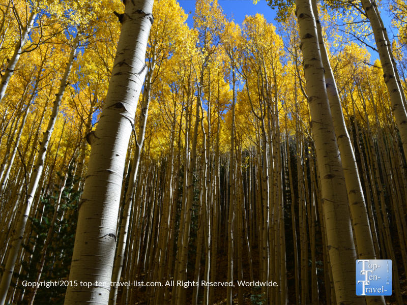 Amazing fall aspens on the Inner Basin trail in Flagstaff, Arizona