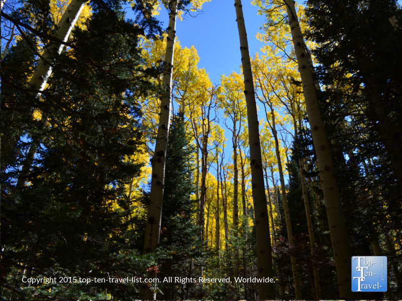 Beautiful aspens contrasting with the pines along the Inner Basin hiking trail in Flagstaff, Arizona