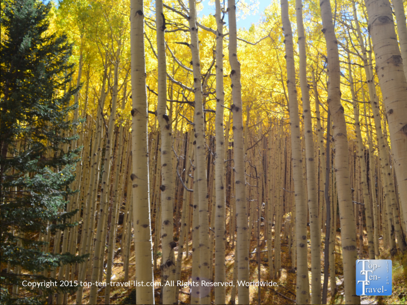Gorgeous aspens on Flagstaff's Inner Basin trail during the spectacular fall season