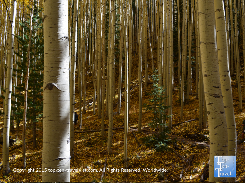 Fall leaves covering the Inner Basin Trail in Flagstaff, Arizona