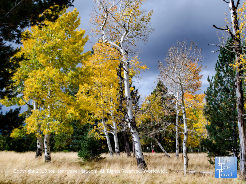 Aspens at peak along the picturesque Aspen Loop hiking trail at Flagstaff's Snowbowl.