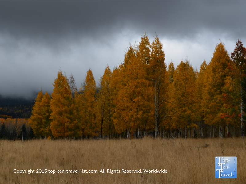 Beautiful aspens on a cloudy fall day along the Aspen Nature Loop in Flagstaff, Arizona